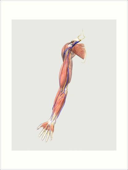 Láminas artísticas «Ilustración médica de los músculos del brazo ...