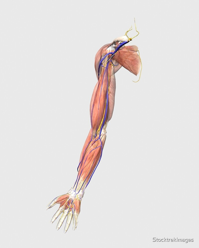 Medical Illustration Of Human Arm Muscles Veins And Nerves By