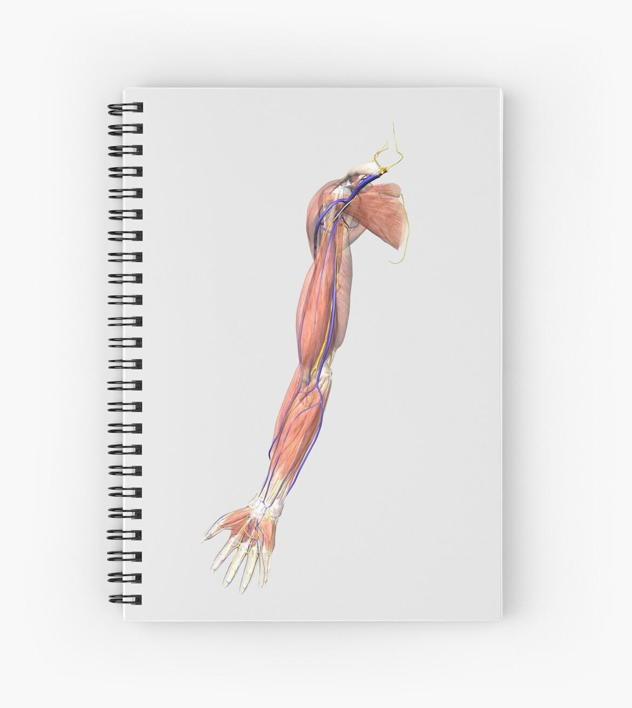 Cuadernos de espiral «Ilustración médica de los músculos del brazo ...