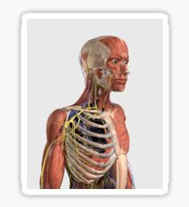 Human upper body showing muscle parts, axial skeleton, veins and nerves. Sticker