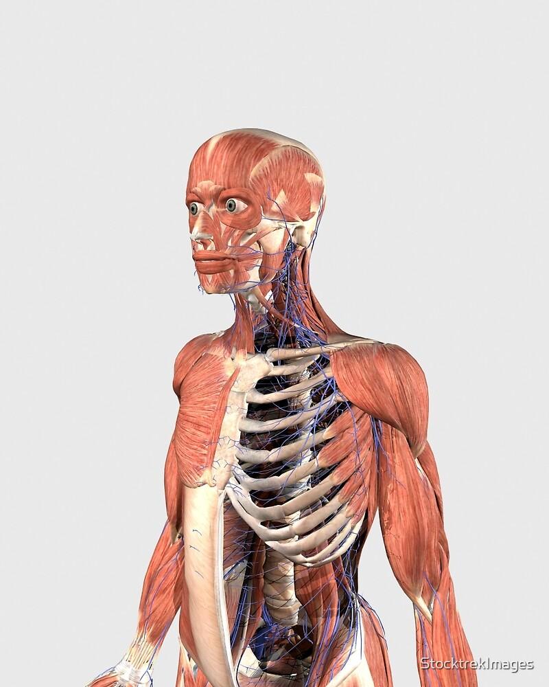 Parte superior del cuerpo humano que muestra las partes musculares ...
