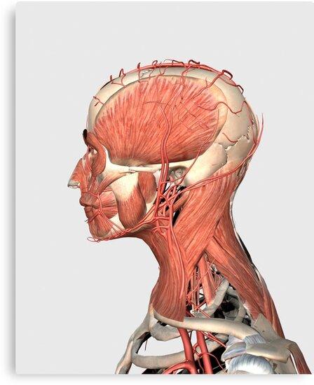 Lienzos «Ilustración médica que muestra la cabeza humana y los ...