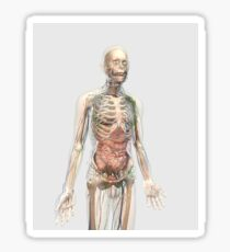 Human body with internal organs, lymphatic system and circulatory system. Sticker