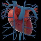 3D rendering of human heart and thoracic veins. by StocktrekImages