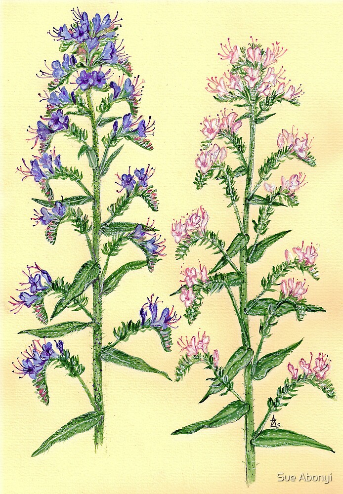 Viper's Bugloss - Echium vulgaris by Sue Abonyi