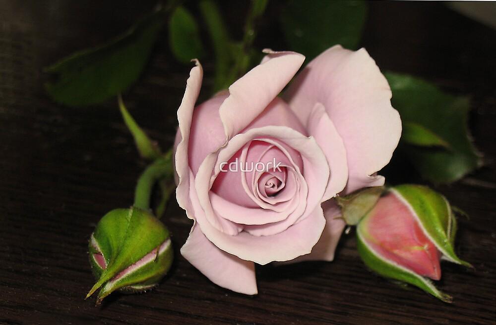 Rose on Oak by cdwork