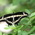 Butterfly by Sam Hanie