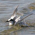Tern Bathing by Sam Hanie