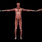 3D rendering of male muscular system at different angles. by StocktrekImages