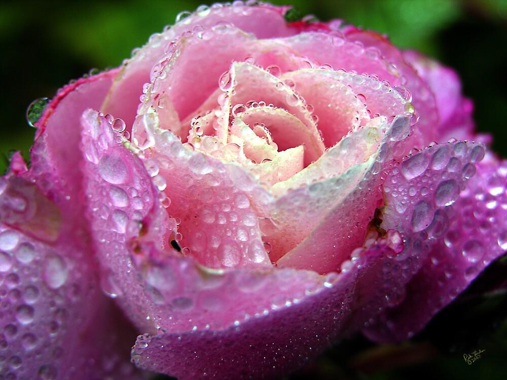 Rain Rose by Rick Lawler