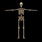 3D rendering of human skeletal system, front view. by StocktrekImages
