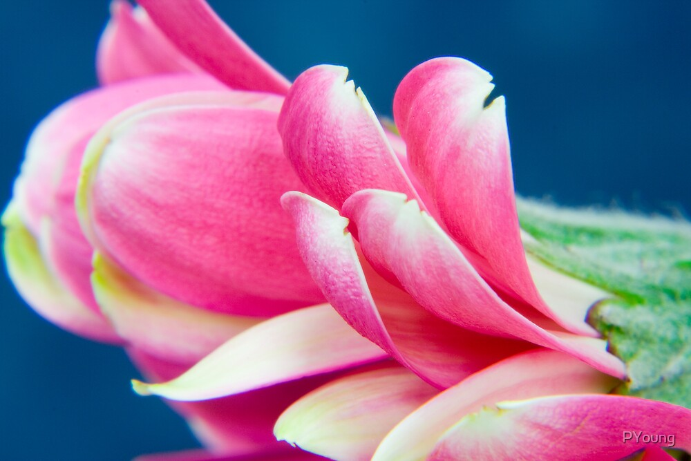 Flower petals by PYoung