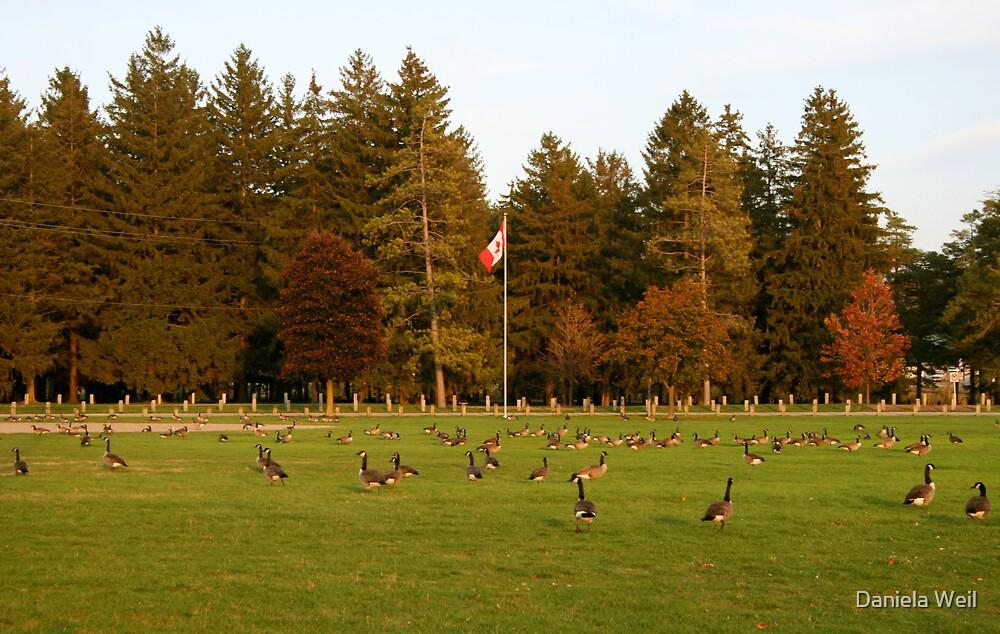 Canadian Geese, Eh? by Daniela Weil