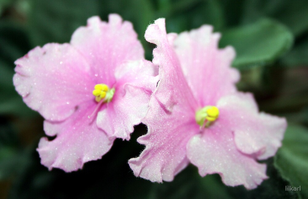 African Violet Bloom by lilkarl