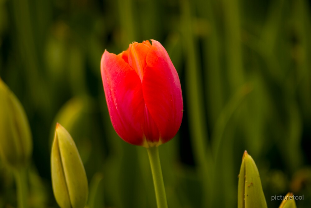 Lonely Tulip by picturefool