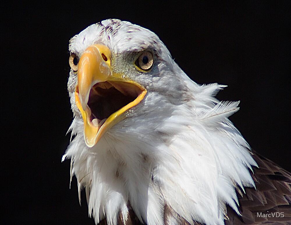 Bald Eagle by MarcVDS