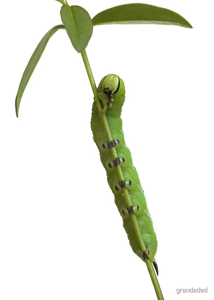 Privet Hawk Moth Caterpillar by grandaded