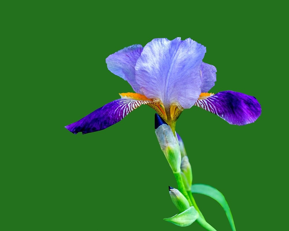 Iris on Green by Keith Childers