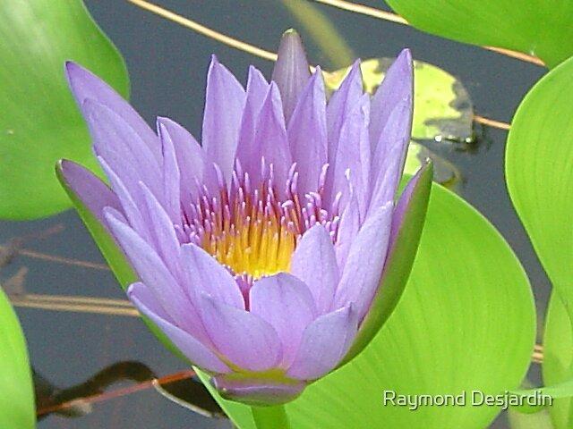 water lily by Raymond Desjardin