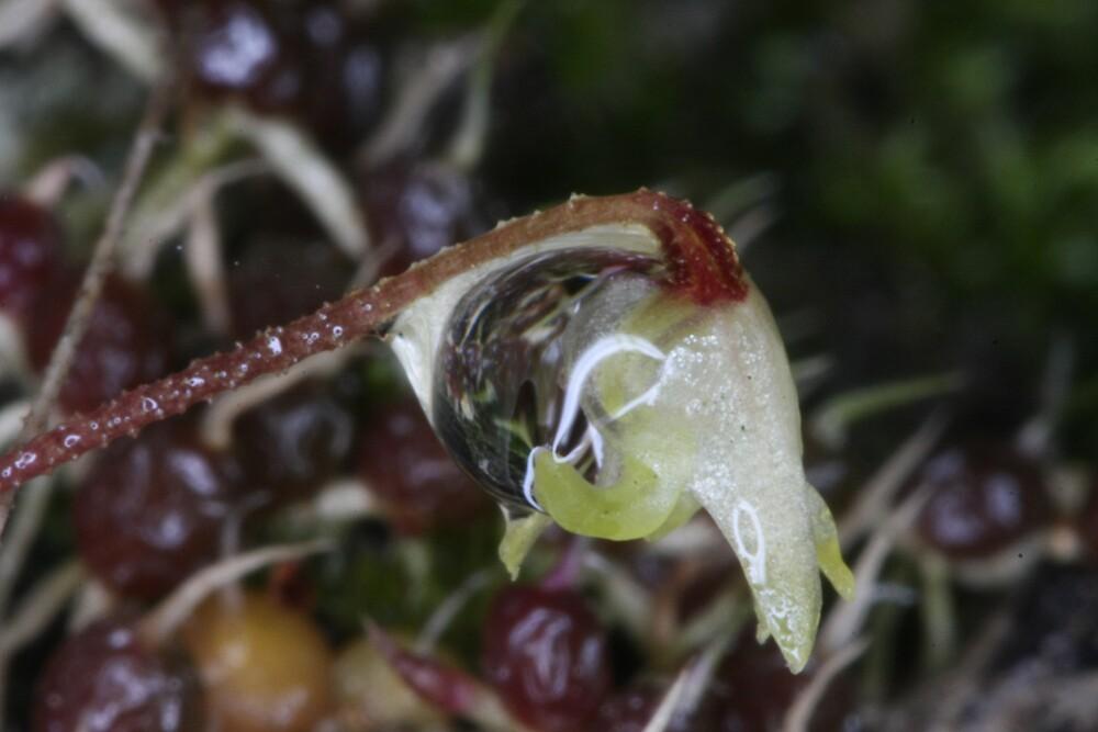 Wet Bulbophyllum globuliforme by wazonthehill