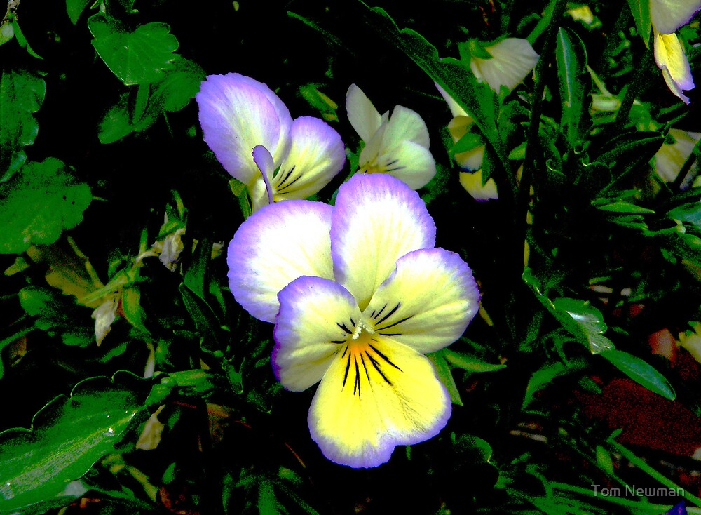 Yellow Pansy by Tom Newman