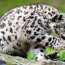 Snow Leopard Okara or Orya by Kajia