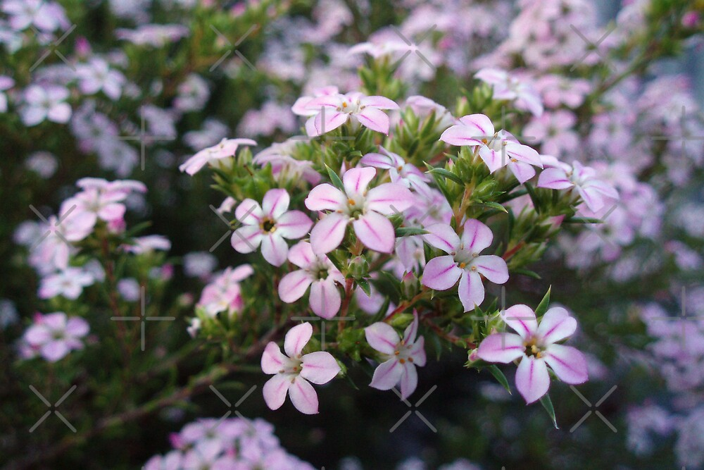 Pink Diosma in Bloom by georgiegirl