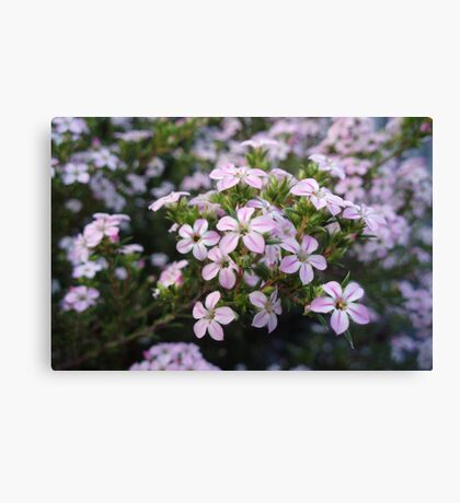 Pink Diosma in Bloom Canvas Print