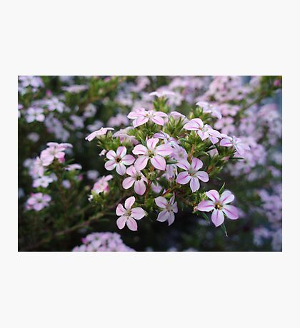 Pink Diosma in Bloom Photographic Print