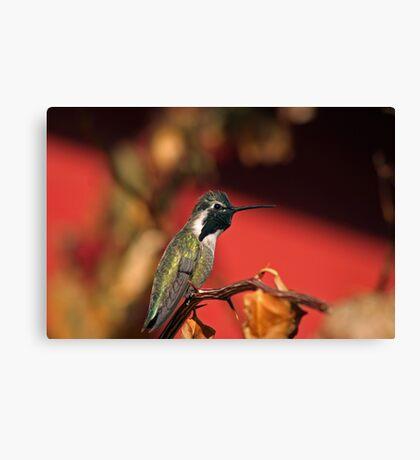 Perched Hummingbird Canvas Print