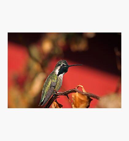 Perched Hummingbird Photographic Print