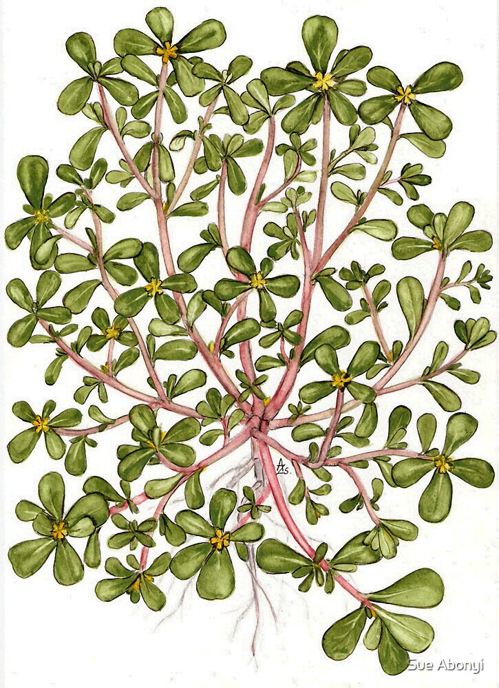Common Purslane - Portulaca oleracea by Sue Abonyi