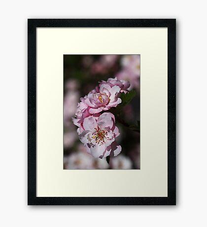 Crabapple Pink Framed Print