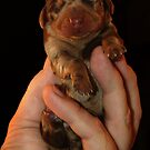 Very Miniature Dachsund by Phil Rowe