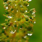 Tiny Drops on Tiny Grapes by the57man