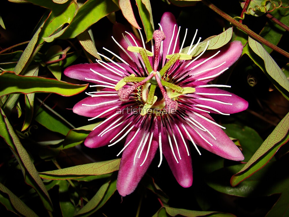 Passion Flower 1 by artistfemale