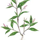 Spotted Ladysthumb - Polygonum persicaria by Sue Abonyi