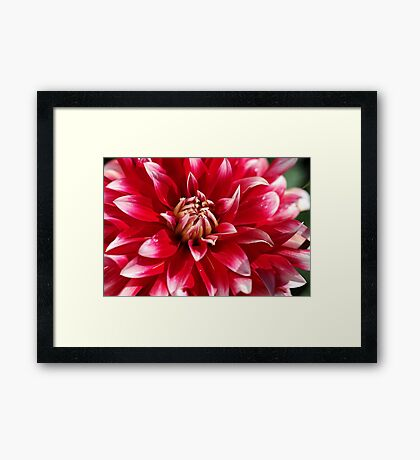 Bright Red Dahlia Framed Print