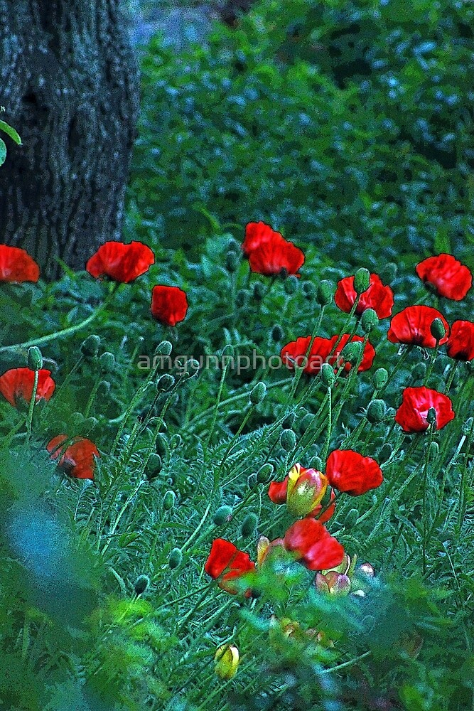 The Brightest Poppies Ever by amgunnphotoart