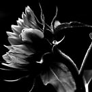 Bending Sunflower in B&W by Debra Fedchin