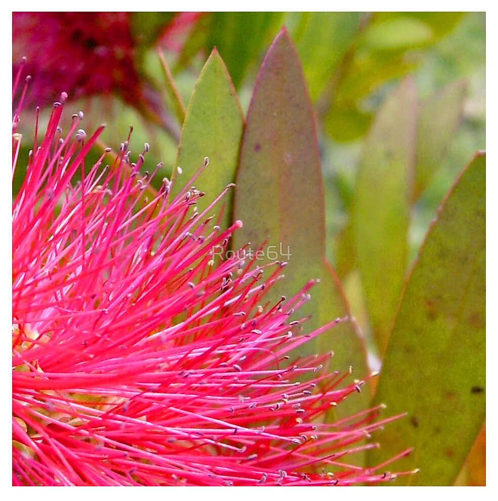 Pink Bottlebrush by Route64