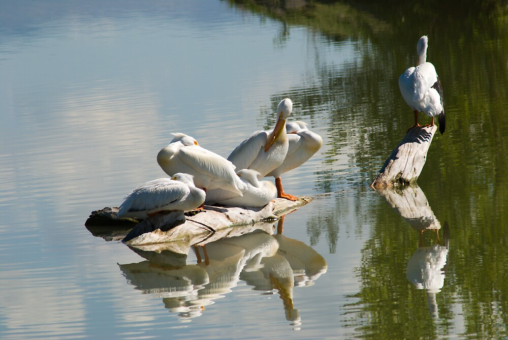 Pelicans by Linda J Armstrong