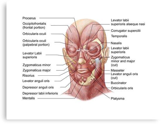 Lienzos «Músculos faciales del rostro humano (con etiquetas).» de ...
