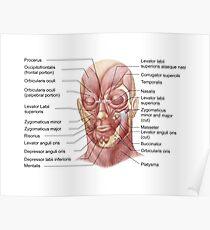 Gesichtsmuskeln des menschlichen Gesichts (mit Etiketten). Poster
