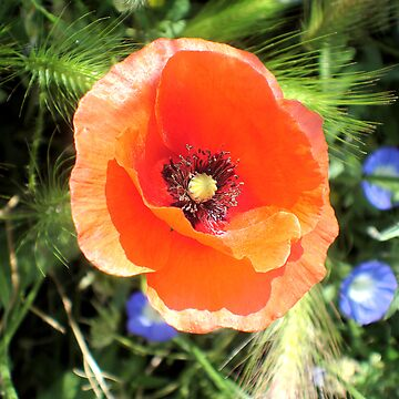 Red Poppy - Morocco by probono