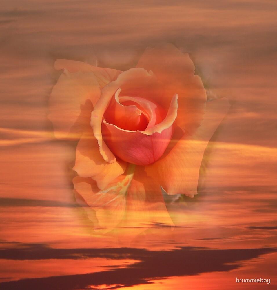 Sunset rose by brummieboy