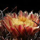 Cactus Flower  by Daniel J. McCauley IV
