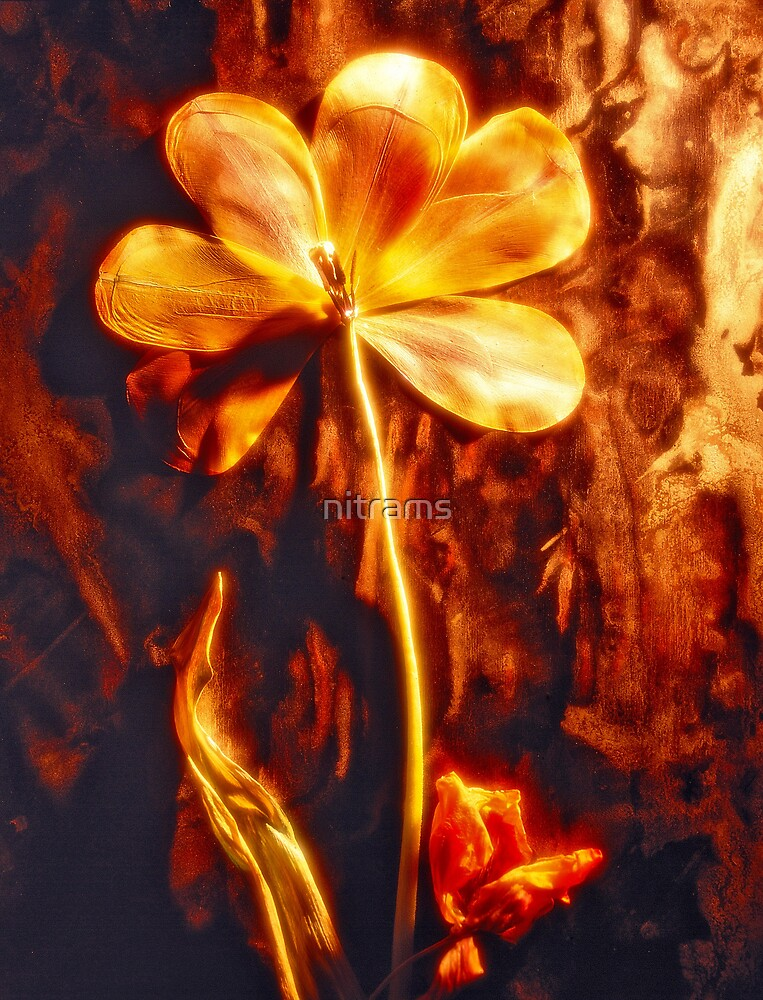 Dried tulip by nitrams