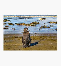 Lonley Penguin at Shore Chubut Argentina Photographic Print