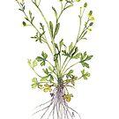 Cursed Crowfoot - Ranunculus sceleratus by Sue Abonyi